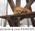 sleepy fox, Fox and Snow, Miyagi Zao Fox Village 44460307