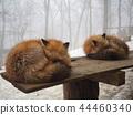 sleepy fox, Fox and Snow, Miyagi Zao Fox Village 44460340