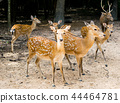 Buck deer with roe-deer in the wild 44464781