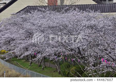 Flower, cherry blossom, Somei Yoshino, full bloom @ Kiritani park, Kashiwa 44467607