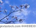 ดอกซากุระบาน,ซากุระบาน,ฤดูใบไม้ผลิ 44469830