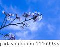 ดอกซากุระบาน,ซากุระบาน,ฤดูใบไม้ผลิ 44469955