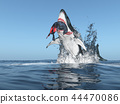 Great white shark with prey in its mouth jumping 44470086