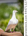 full body of white feather pigeon bird  44471327