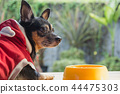 Cute small dog eating with bowl of dog food. 44475303