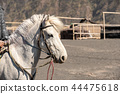 White horse with rider for activity walking around 44475618
