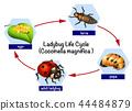 ladybug life cycle 44484879
