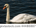 Mute Swan swim on a Dark Blue Lake 44486887