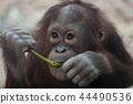 吃草的猩猩孩子 44490536