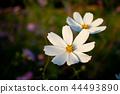 코스모스, 꽃, 식물 44493890