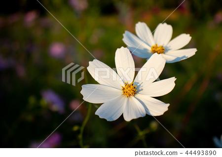 가을 꽃 코스모스 들판 44493890