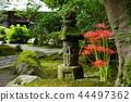 꽃, 플라워, 석산 44497362