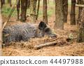 Belarus. Wild Boar Or Sus Scrofa, Also Known As The Wild Swine,  44497988