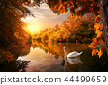 Swan on autumn pond 44499659