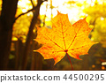 leaf of orange maple with forest tree in autumn  44500295