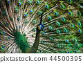 Beautiful Thai peacock head 44500395