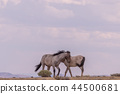 Wild horses Fighting in the Desert 44500681