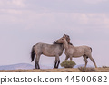 Wild horses Fighting in the Desert 44500682