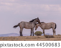 Wild horses Fighting in the Desert 44500683
