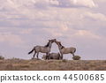 Wild horses Fighting in the Desert 44500685