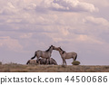 Wild horses Fighting in the Desert 44500686