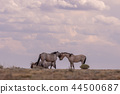 Wild horses Fighting in the Desert 44500687