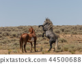 Wild horses Fighting in the Desert 44500688