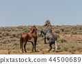 Wild horses Fighting in the Desert 44500689