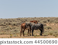 Wild horses Fighting in the Desert 44500690