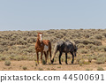 Wild horses Fighting in the Desert 44500691