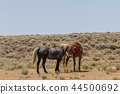 Wild horses Fighting in the Desert 44500692