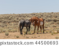 Wild horses Fighting in the Desert 44500693