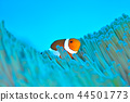 小丑魚 鹹水魚 海水魚 44501773