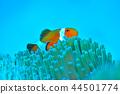 小丑魚 鹹水魚 海水魚 44501774