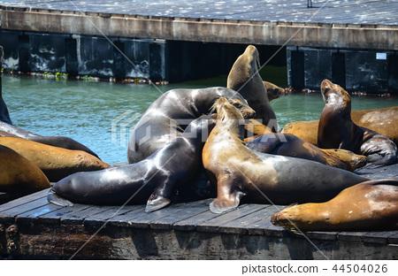 San Francisco Fisherman's Wharf's seal 44504026