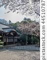 ดอกซากุระบาน,ซากุระบาน,ฤดูใบไม้ผลิ 44510787