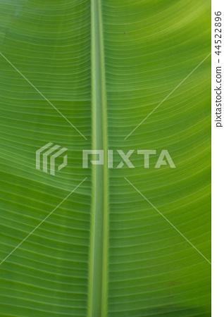 香蕉樹葉子葉脈 44522896