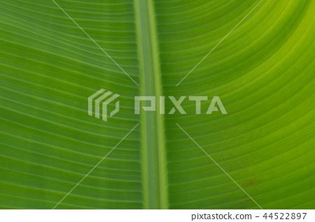 芭蕉葉的葉脈紋理 44522897