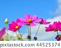 코스모스 밭과 푸른 하늘 44525374