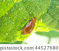 cucurbit leaf beetle, leaf beetle, yellow 44527680