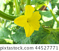 cucumber, cucumbers, bloom 44527771