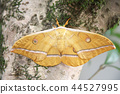 Japanese silk moth, moth, bug 44527995