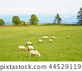 sheep, biei, hill 44529119