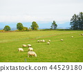 sheep, hill, of 44529180