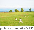 sheep, hill, of 44529195