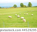 sheep, hill, of 44529295