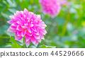 dahlia, dahlias, bloom 44529666