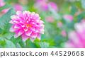 dahlia, dahlias, bloom 44529668