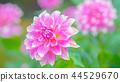 dahlia, dahlias, bloom 44529670