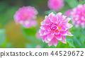 dahlia, dahlias, bloom 44529672